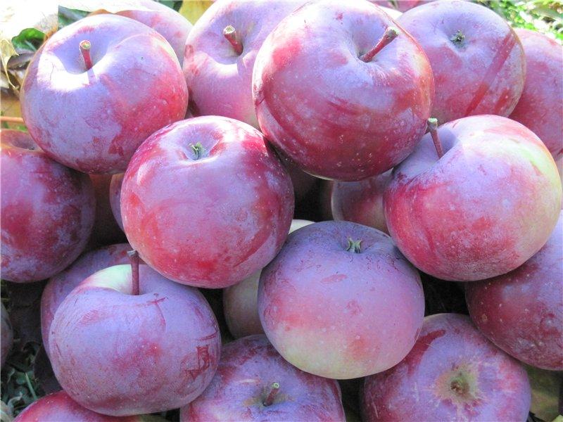 Описание яблони сорта Алеся - МыДачники