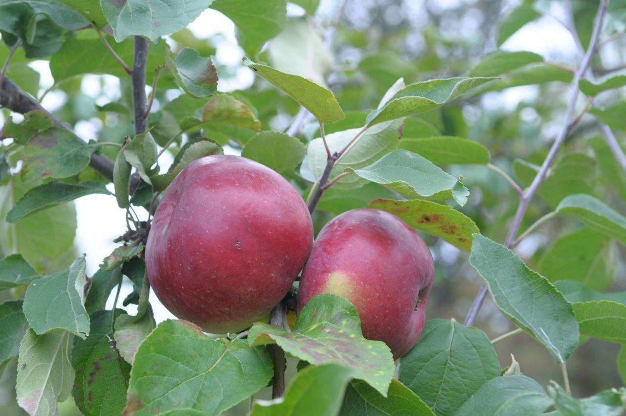 шик сорта яблок для беларуси в картинках для