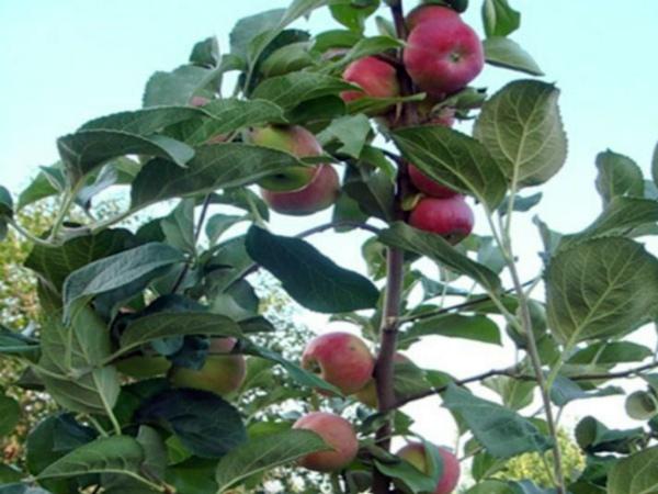 Яблоня серебряное копытце описание фото отзывы посадка