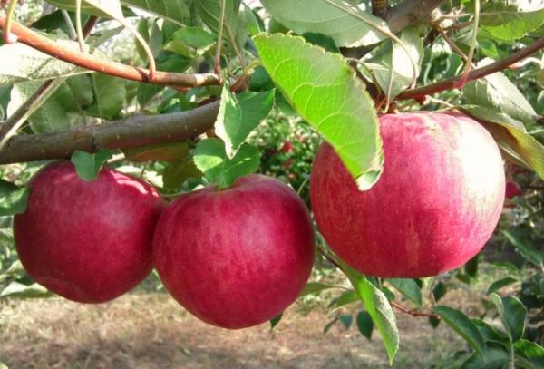 Колоновидная яблоня слава победителю