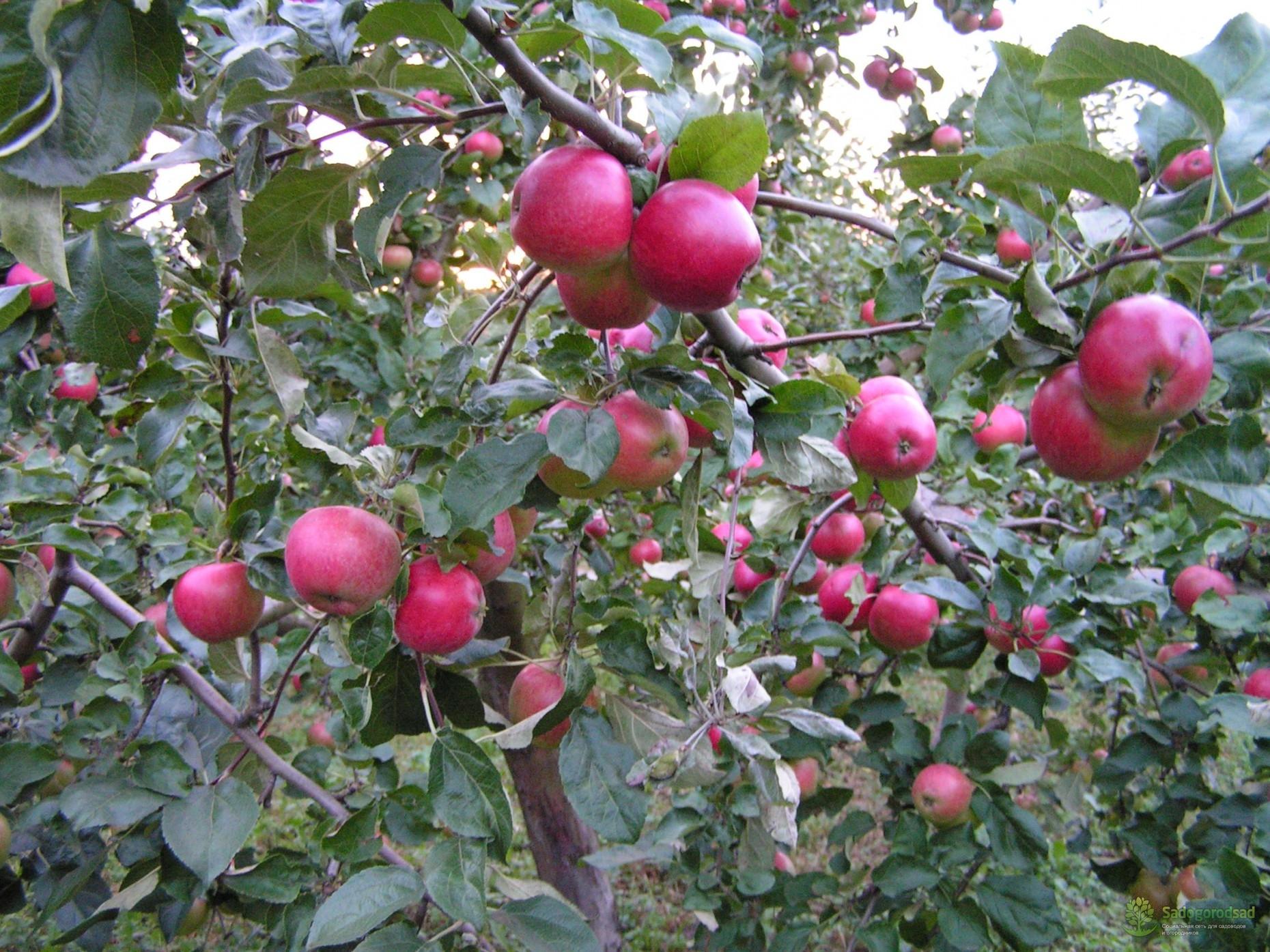 Характеристики и описание сорта яблони Веньяминовское посадка и уход