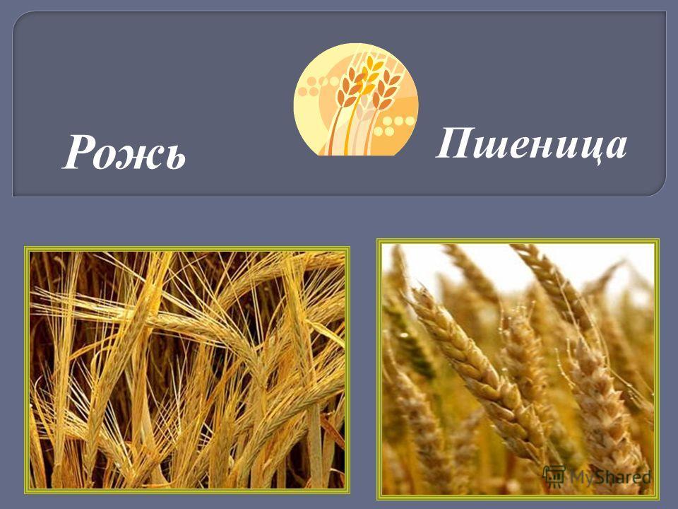 для высадки рожь и пшеница фото различия многих