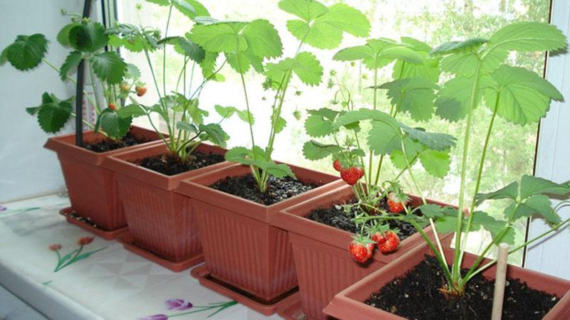 Как выращивать ремонтантную клубнику на балконе