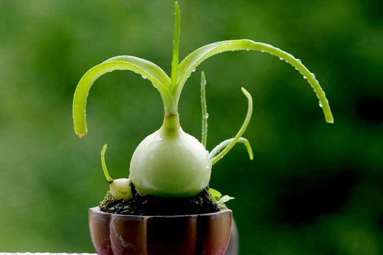 Китайский лук лечебные свойства настойка
