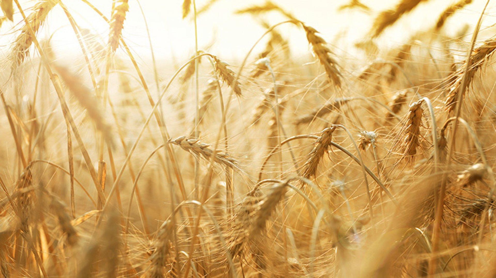 Из-за аномальной жары страдает урожай в Костанайской и Актюбинской областях