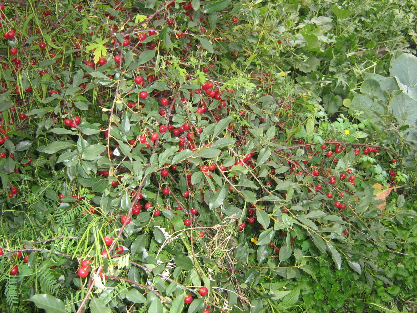 Кустовая вишня, посадка и уход. Кустовая вишня: сорта, посадка, уход и фото