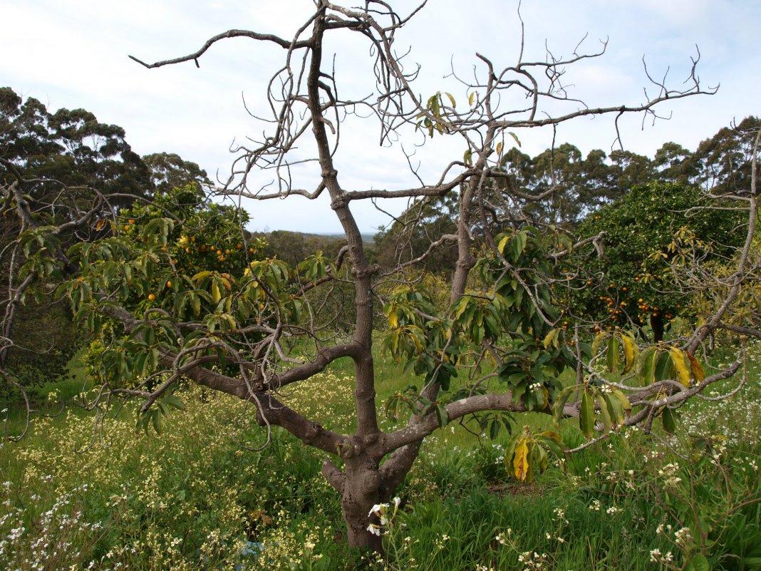 Сохнут ветки у яблони что делать в такой ситуации