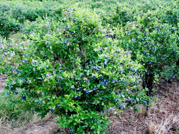 Чем подкормить жимолость после сбора урожая какие удобрения и когда
