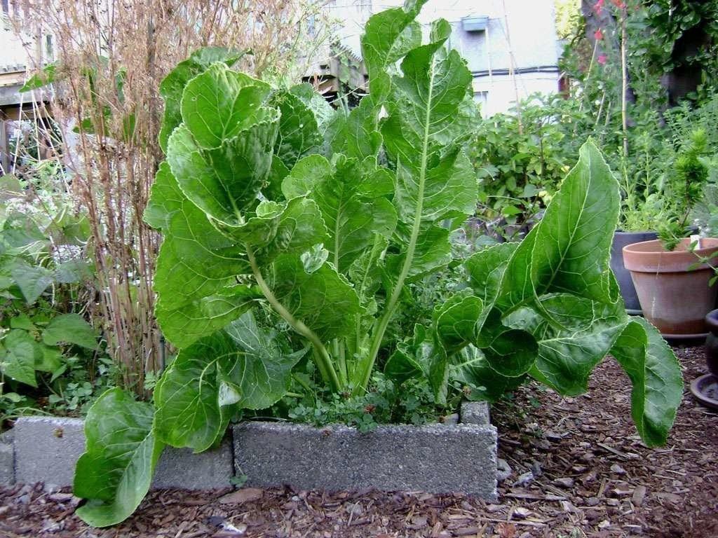 Интересный способ выращивания хрена на садовом участке