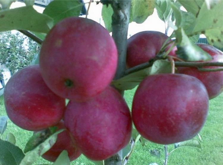 Яблоня «Китайка Керр» (10 фото): описание сорта и высота дерева, отзывы