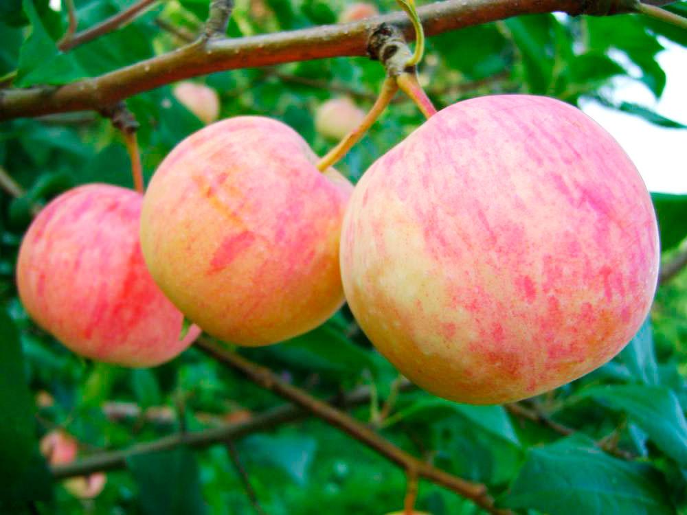 Описание и видовые характеристики яблони сорта Уралец посадка и уход
