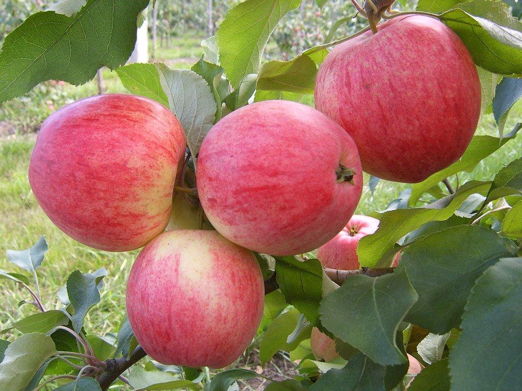 Зимние сорта яблонь: обзор и описание разновидностей