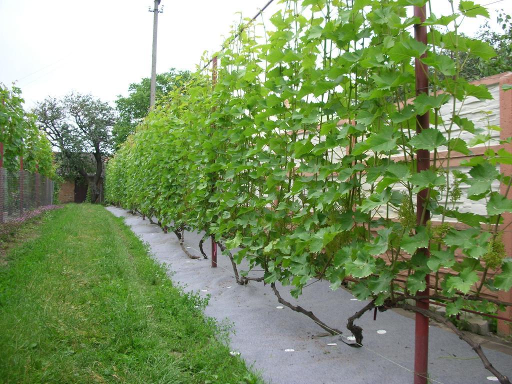 Подвязка винограда к шпалере формирование куста