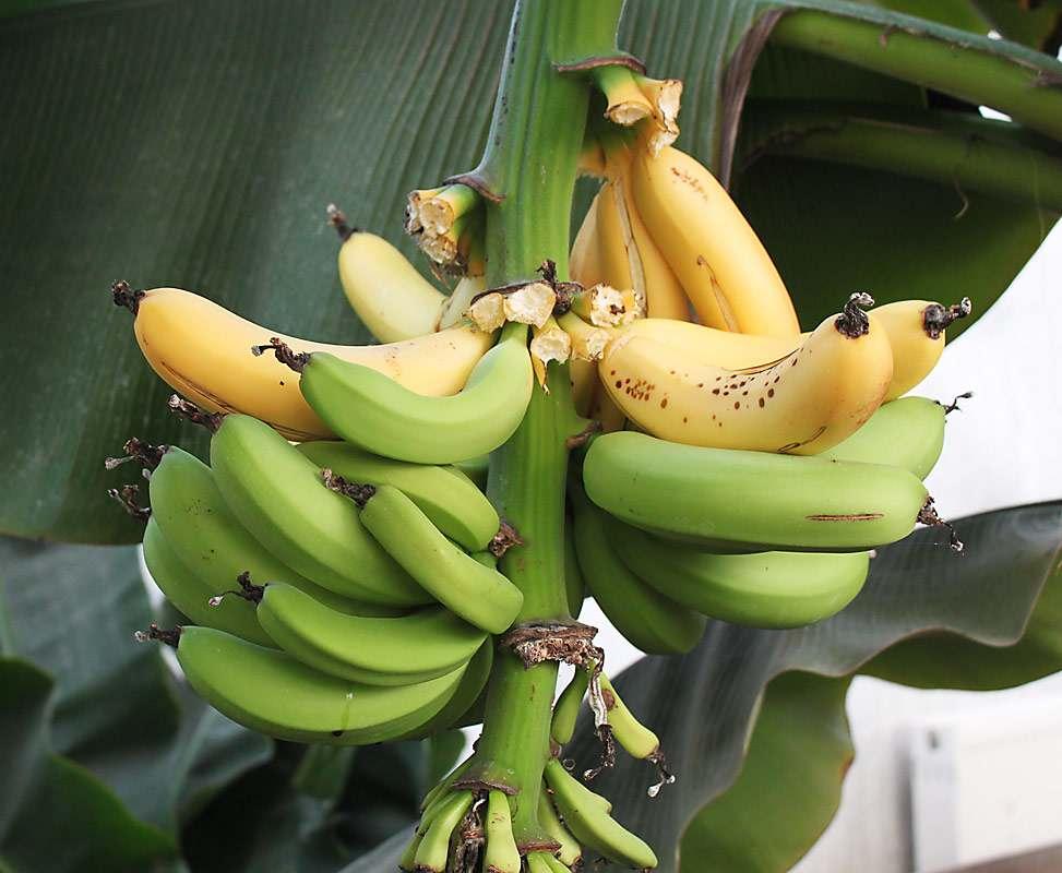 ссср банан комнатный картинки сегодня