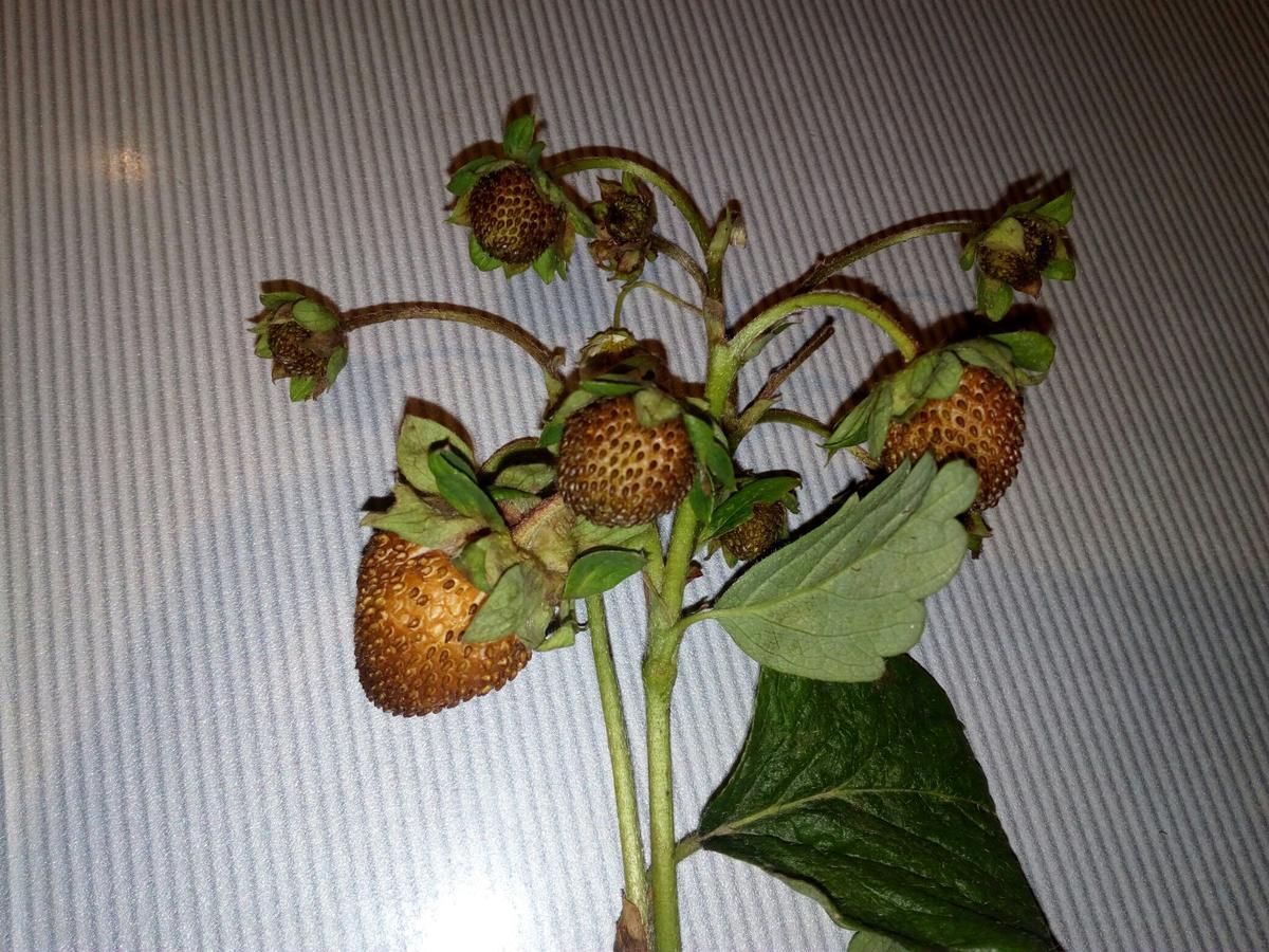 садовая земляника засыхают плоды фото выделения поздних