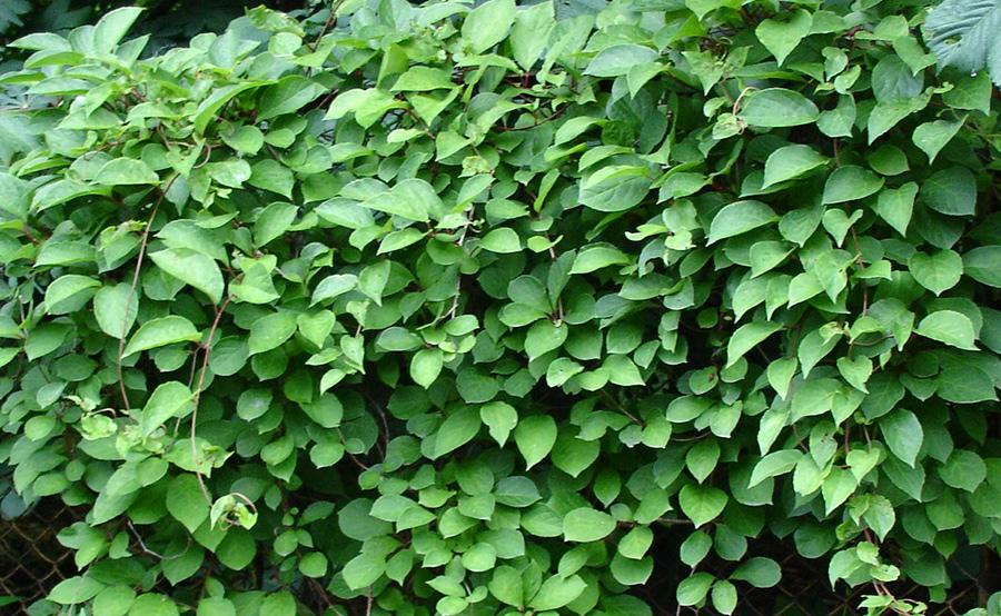 хорошую листья лимонника фото википедии есть