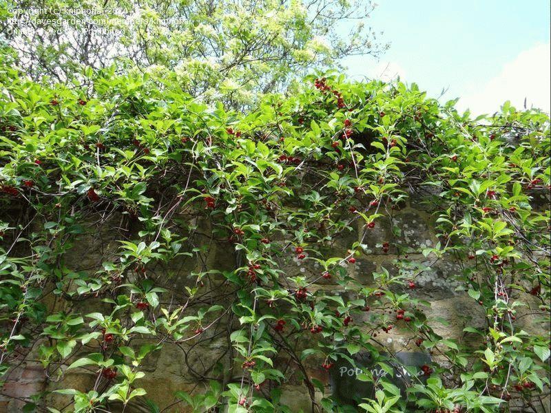 лимонник китайский выращивание и уход фото на урале