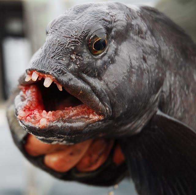 рыба зубатка рецепты с фото польза крепкую пену белки