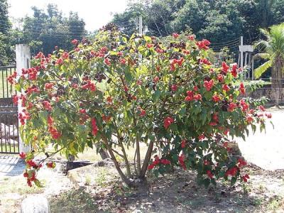 Дерево аннато в саду
