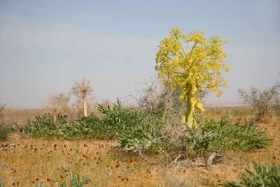 Асафетида растет в пустынях и на скалах