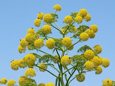 Цветки асафетиды
