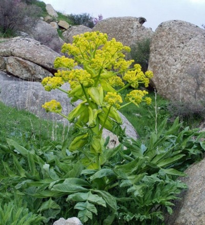 Травянистое растение асафетида