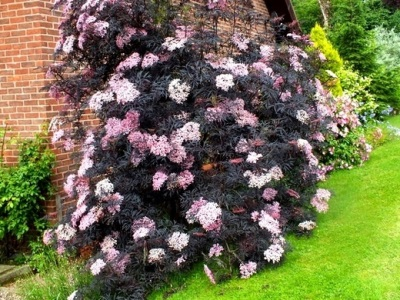 Черная бузина в саду