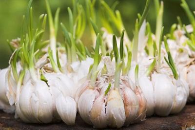 Выращивание чеснока зубчиками