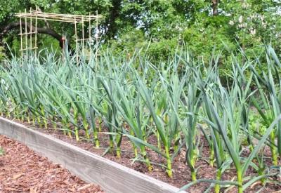Выращивание и уход чеснока