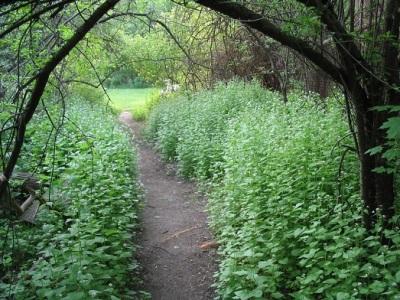Заросли чесночной травы в лесу