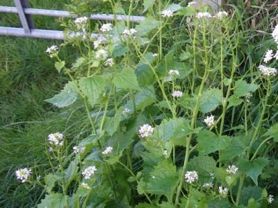 Чесночница вытесняет любые растения растущие рядом