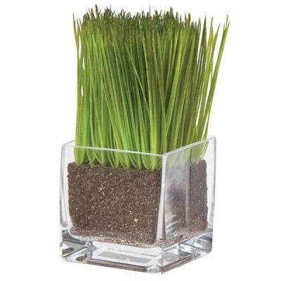 Выращивание цитронелы