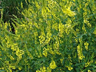 Донник не только лекарственное растение, еще его используют на корм скоту и для восстановления почвы