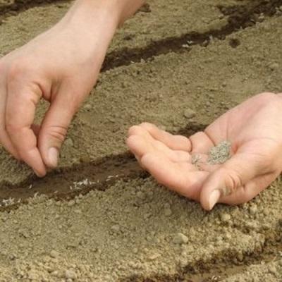 Выращивание фенхеля