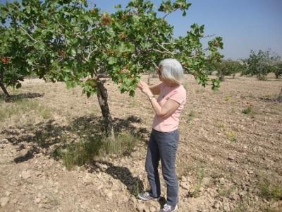 Выращивание фисташек в Турции