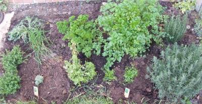 Выращивание кервеля в огороде с другими травами
