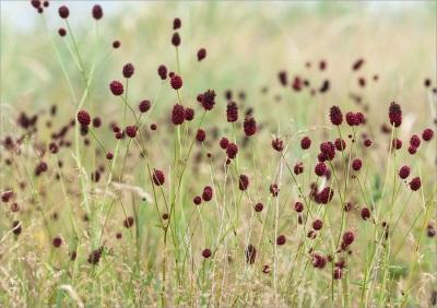 Кровохлебка - растение без запаха