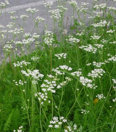 Кумин - это зонтичное растение