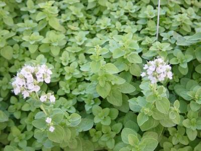 цветение садового майорана