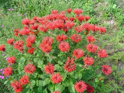 Монарда - луговой цветок