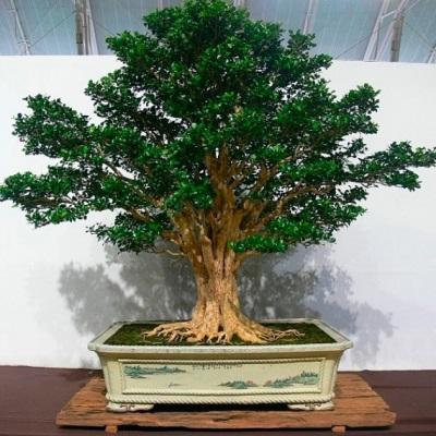 Муррайя, как декоративное растение