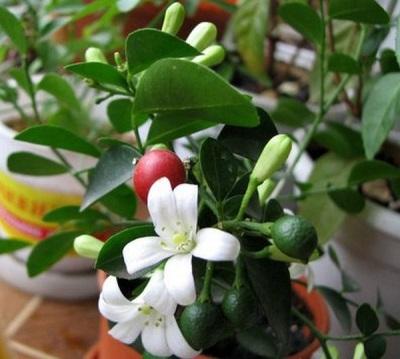 Мурайя домашняя цветет и плодоносит одновременно