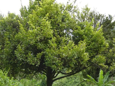 Дерево мускатника с плодами