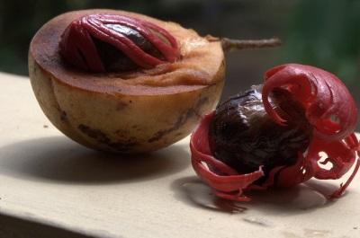 Мускатник разных видов имеет разные плоды