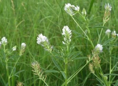 Пажитник сенной цветущий
