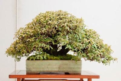 Бонсай перечного дерева
