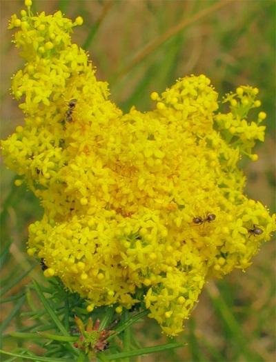 Подмаренник - растение медонос