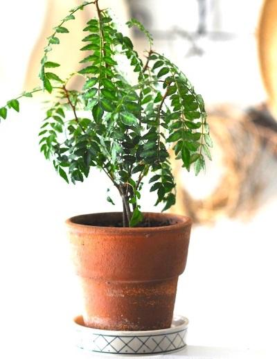 Выращивание перечного дерева