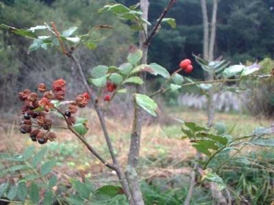 Родина перечного дерева - Япония