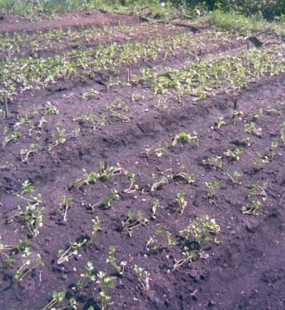 Высаживание рассады сельдерея